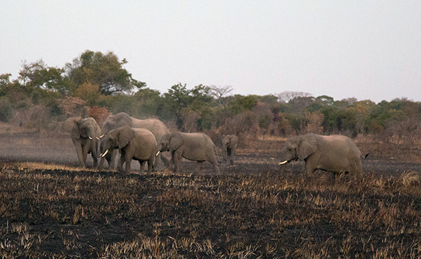 The herd had increased to more than 20 elephants, and Chodoba approached the group without hesitation, immediately engaging with a group of 4 male subadult/calves who were on the periphery of the group.