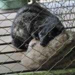 caged-civets-3