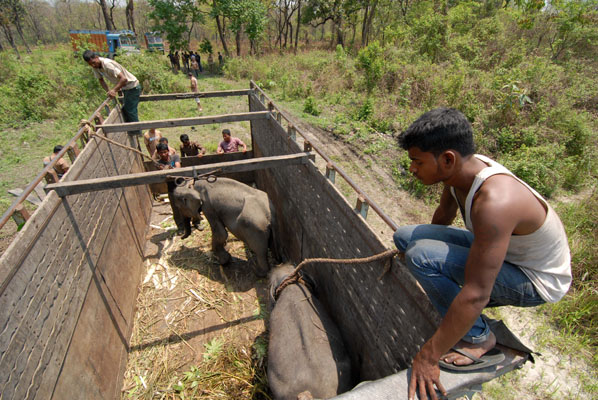 Preparing the elephants for release into Manas National Park.