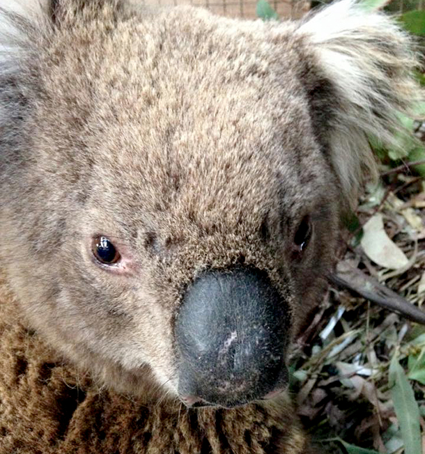 Clarry the Koala recovering from fire. Photo: © WALA