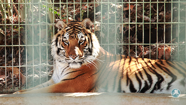 sheba, a tiger rescued by ifaw sits in her cage