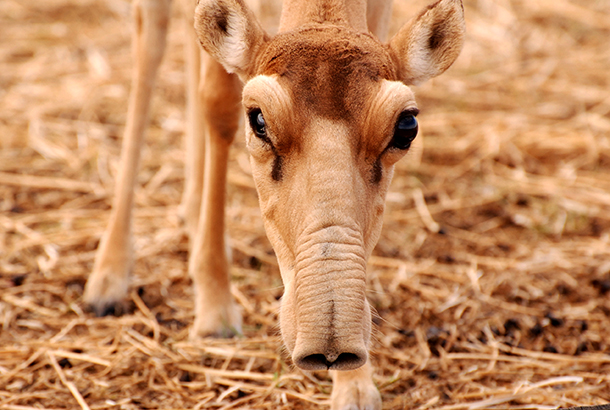 Saiga run the risk of getting trapped in a raging and deadly burn.