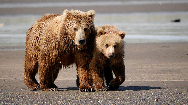 House Joint Resolution 69 would allow the killing of bear cubs, along with their mothers, as they sleep in their dens.