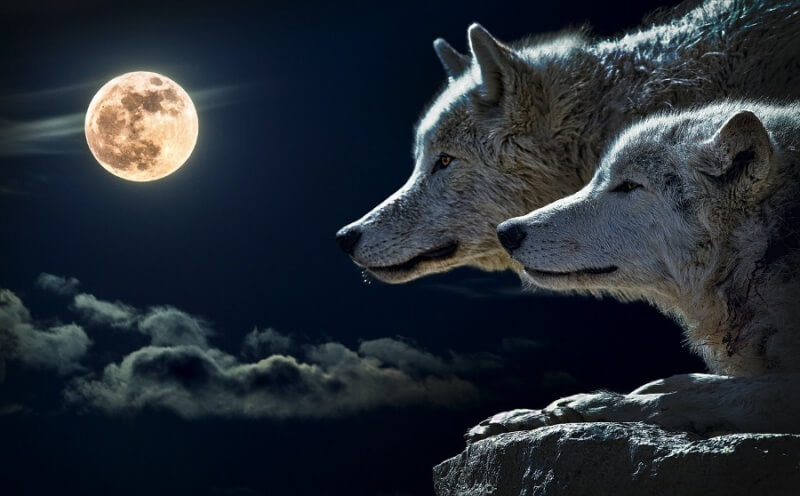 Two wolves and the moon