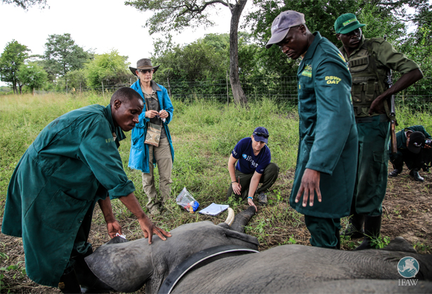The team runs tests on Batoka while he is under anesthesia and collared; the author holds the trunk.