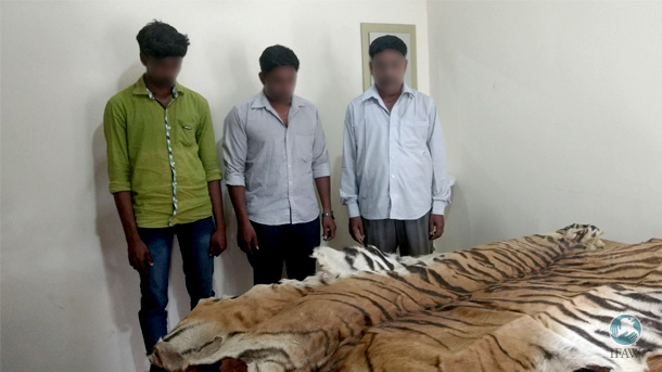 Three men are arrested for trafficking a tiger skin in India. Their identities are kept hidden as they await trial. PHOTO: © Wildlife Trust of India