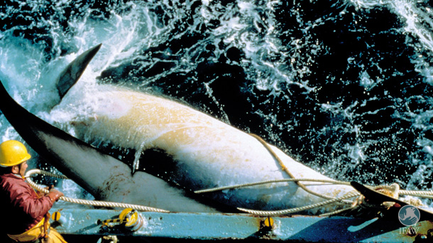 The whaling fleet has left Japan to hunt whales in the Southern Ocean for the second straight year despite the World Court ruling in 2014 and IWC condemnation this fall.
