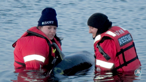 IFAW's Misty Niemeyer and AmeriCorps Jori Barley support the dolphin in preparation for release.