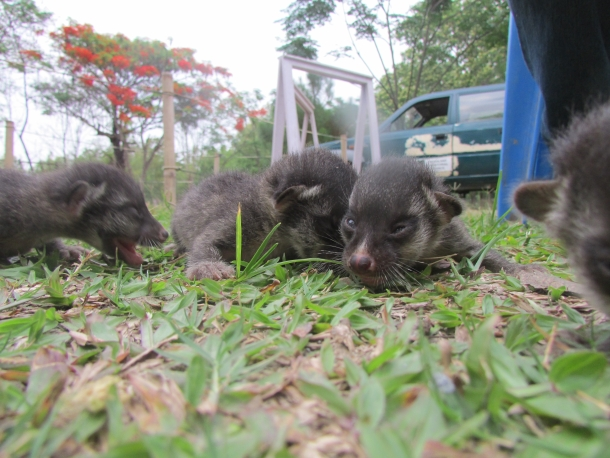 The civet kittens begin to explore their temporary home.