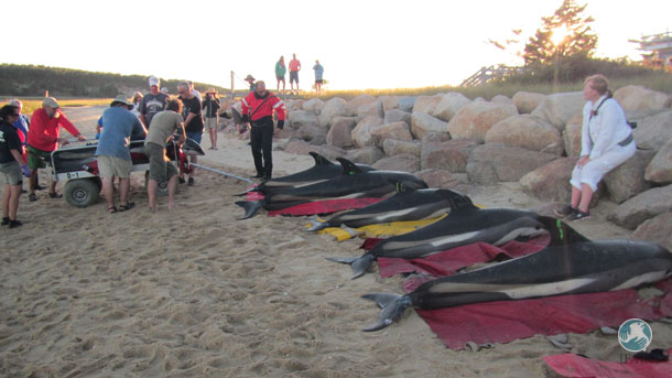 They were staged on the beach to be triaged and prepared for transport to Herring Cove Beach in Provincetown for release into open water.