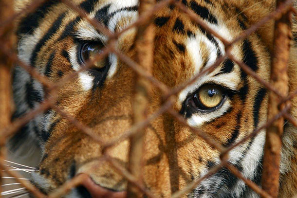 The proposed bill from the Chinese legislature would protect tigers and other endangered species from commercial slaughter.