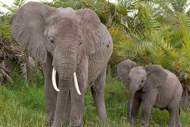 Oregon bill SB 913 would make trading animal parts including elephant ivory, rhinoceros horns or products made from either an offense in the state.