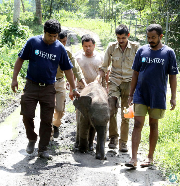 Rescued from a tea garden drain, a three-month-old elephant calf admitted to CWRC