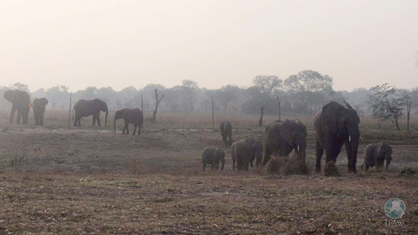 A wild bull elephant follows Chamilandu, the matriarch of the Elephant Orphanage Project (EOP) release herd.