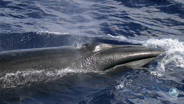 Japan has submitted to the International Whaling Commission (IWC) its proposal for another 12 years of 'research' whaling in the North Pacific.