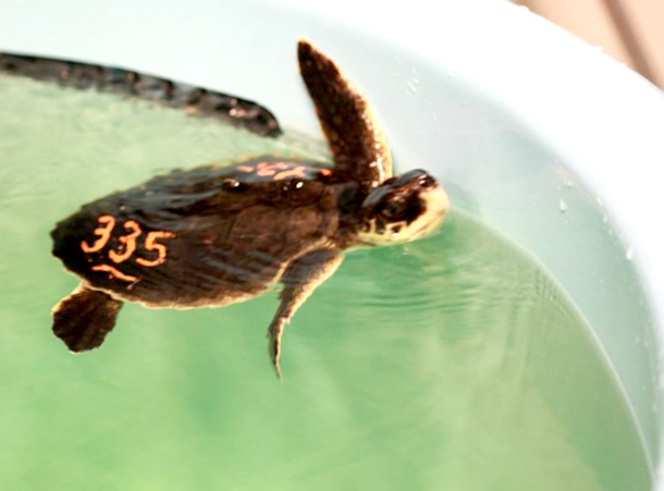 Any day you can help a critically endangered sea turtle is special