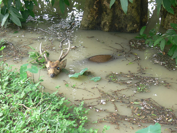 Elephants, rhinos, deer, and many other iconic species are inevitably affected by the floods.