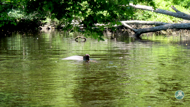 A bottlenose dolphin was swimming in circles in the murky water of the Taunton River tributary.