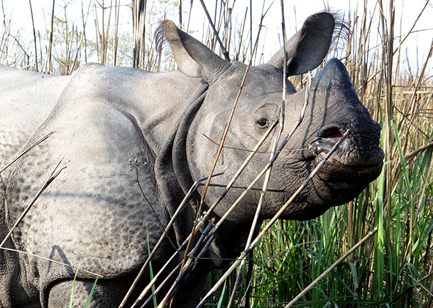 As ingredients in Traditional Chinese Medicine (TCM), medicines containing tiger bone and rhino horn made up a large part of China's exports in the 1980s.