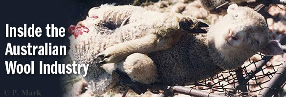 Inside the Australian Wool Industry