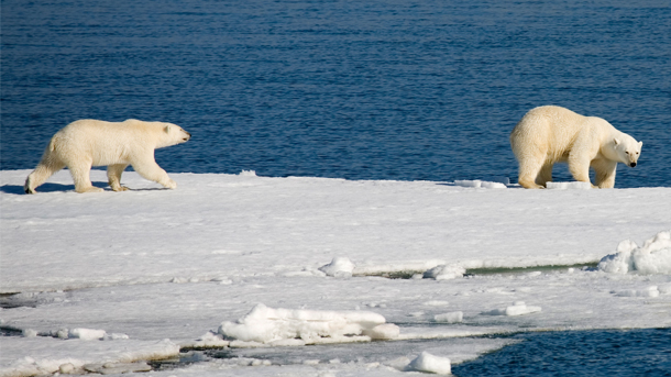 Despite a recent study that found that climate change endangers nearly 700 species of birds and mammals, including polar bears, on the IUCN Red List, President Trump has announced that he will pull out of the Paris Climate Agreement. PHOTO: © Scott Portelli