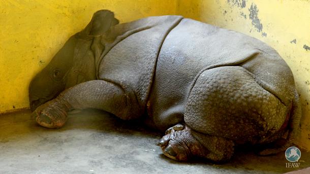 The rhino calf recuperating in a pen at CWRC