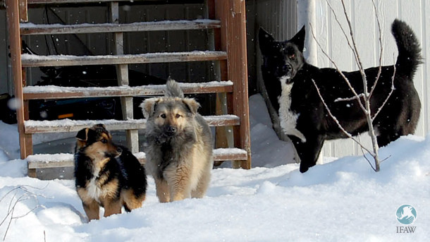 Northern Dogs
