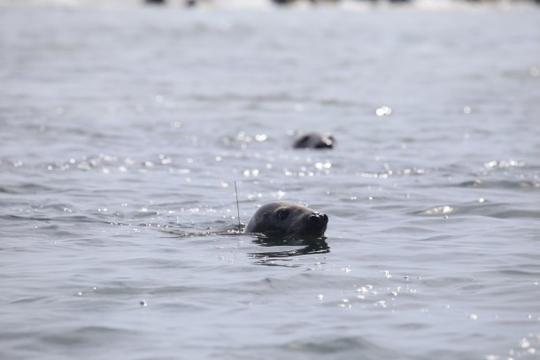 The seal was spotted with her satellite tag antenna sticking slightly out of the water, before she dove and disappeared.