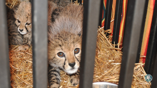 The IFAW Middle East office has worked with the governments in the Arabian Peninsula to build capacity for prevention of cheetah trafficking.