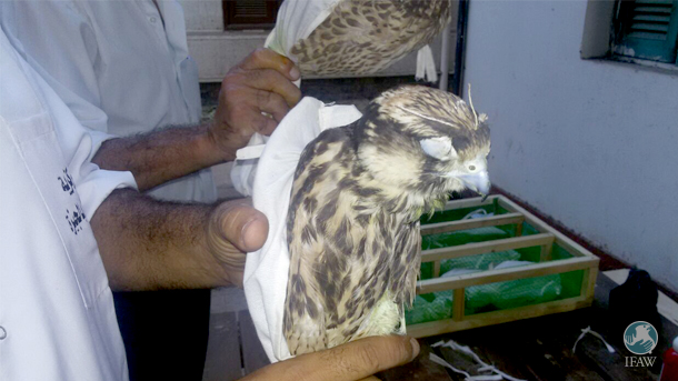 The live falcons seized at the airport had their eyes stitched closed with surgical threads to prevent them from panicking.