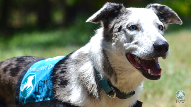 In partnership with IFAW, the training team from Detection Dog for Conservation is able to give Bear a second chance…so he can give a second chance to koalas!
