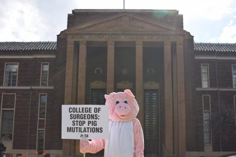 PETA Pig Royal Australasian College of Surgeons