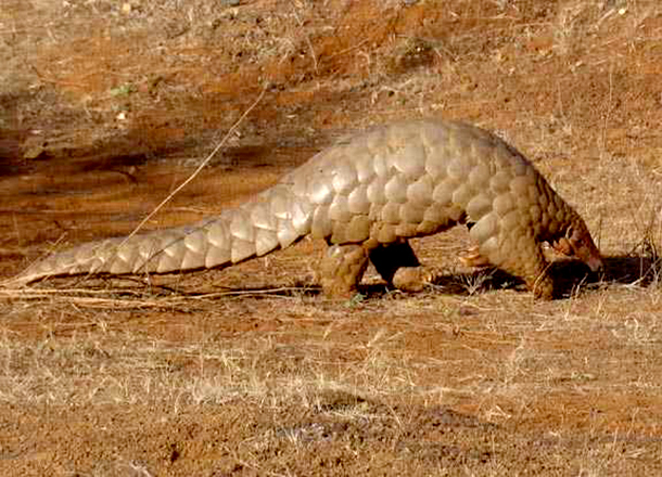 Humans poach more pangolins than rhinos, elephants, and tigers combined.