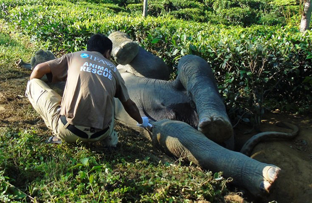 A veterinarian treats the struggling juvenile elephant before the rescue team and others freed the animal by manually widening the tea garden ditch.