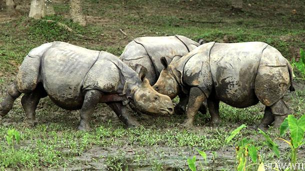rhinos rehabilitating at CWRC