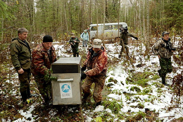 The Kologriv Nature Reserve director and scientific staff will monitor recently released bear cubs Misha and Tisha by radio collar put on Misha.