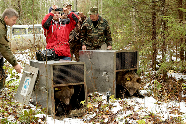 Two bears named Misha and Tisha were taken out to the Kologriv forest to be released recently.