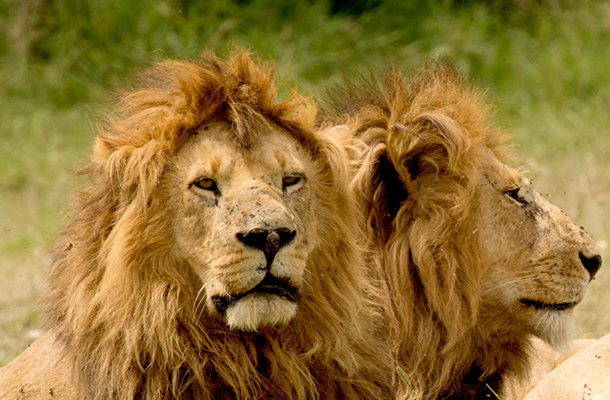 The US Fish  Wildlife Service has announced broad protections to all lions under the US Endangered Species Act.